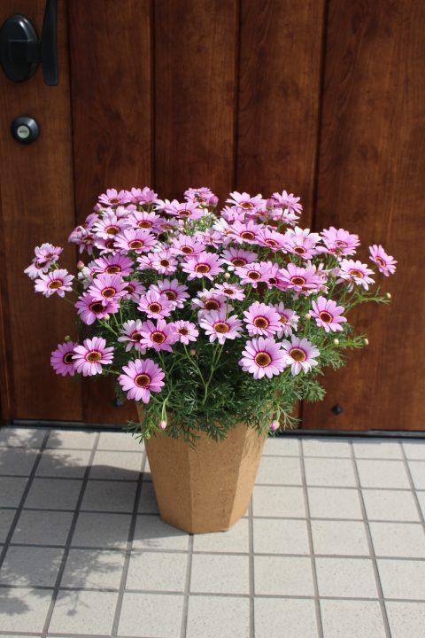 Argyranthemum Grandessa Pink Halo
