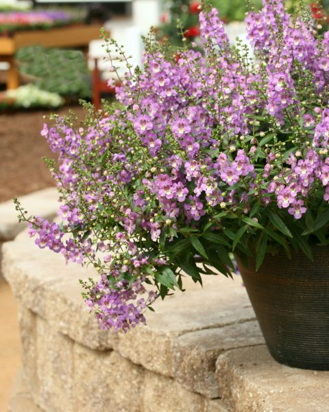 Angelonia Sungelonia Blue