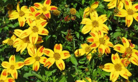 Bidens-BeeDance-Red-Stripe
