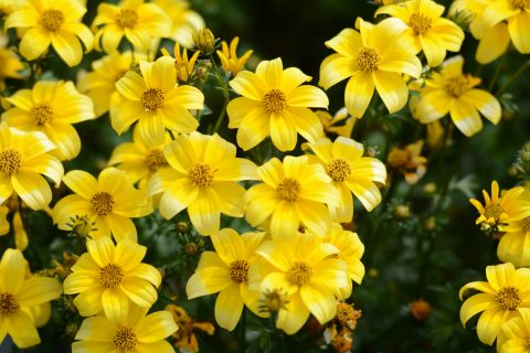 BeeDance Bidens Yellow