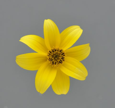 BeeDance Bidens Yellow - Single Flower