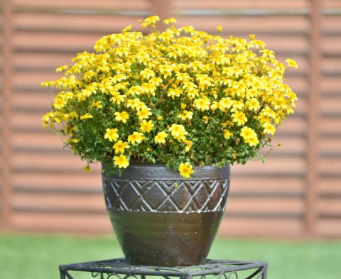 BeeDance Bidens Yellow - Container