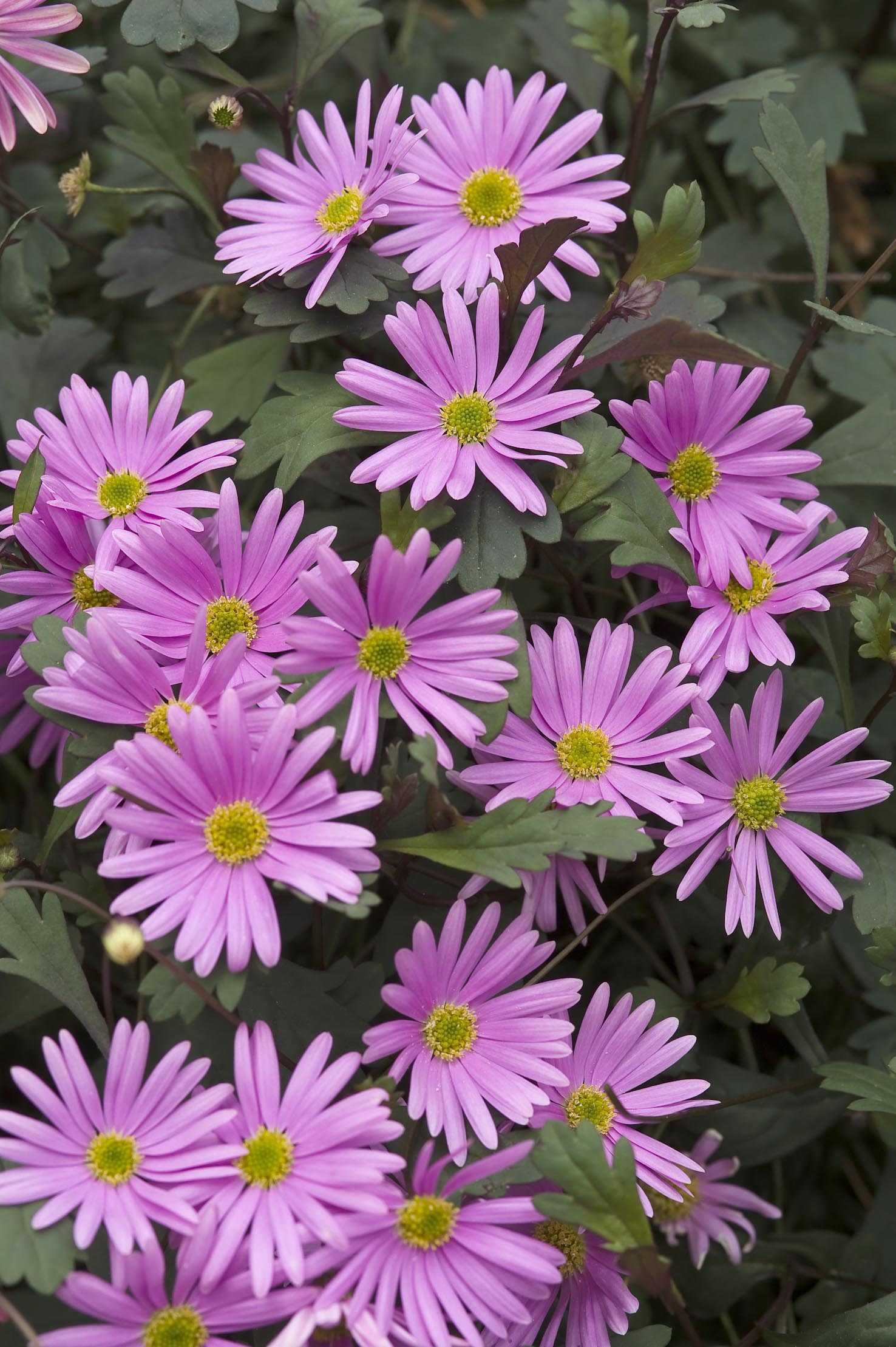 Brachysome Surdaisy Pink