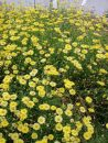 Brachysome Surdaisy Yellow 001