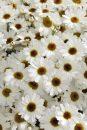 Argyranthemum Grandaisy White