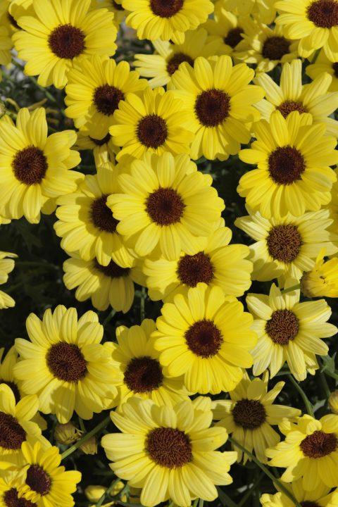 Argyranthemum Grandaisy Yellow
