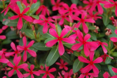 Catharanthus Soiree Kawaii Red