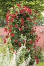 Mandevilla-SunParasol-Original-DarkRed-001