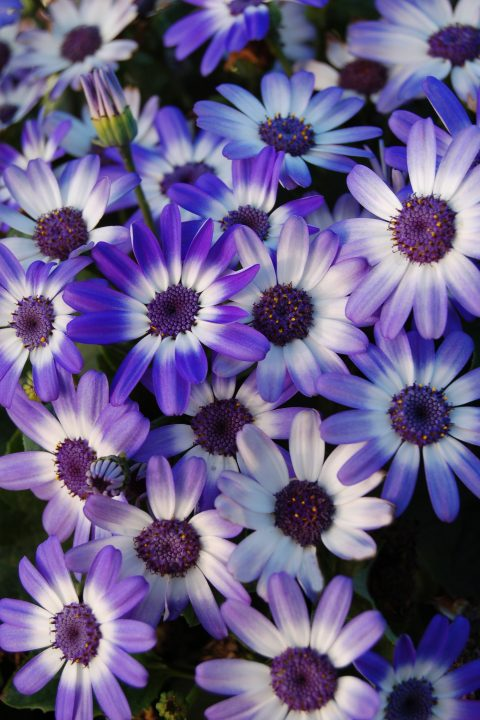 Pericallis-BabySenetti-BlueBicolor-001