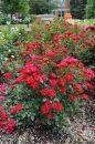 Rosa-Sunrosa-Red-301
