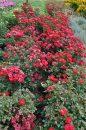 Rosa-Sunrosa-Red-302