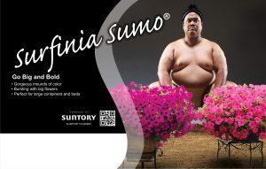 Surfinia Sumo Wrestler