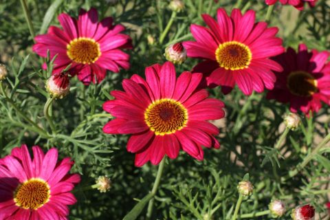 Argyanthemum-Grandaisy-Red-301