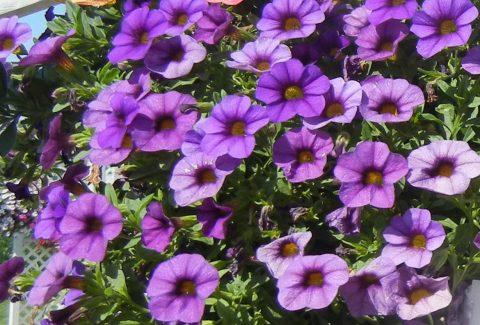 Calibrachoa-Million-Bells-Mounding-Blue-301