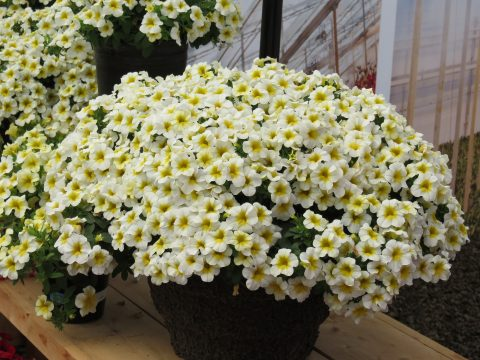 Calibrachoa-Million-Bells-Mounding-Butter-Pop-301