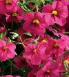 Calibrachoa-Million-Bells-Mounding-Cherry-Pink-001