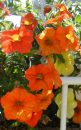 Calibrachoa-Million-Bells-Mounding-Crackling-Fire-001