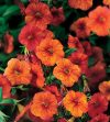 Calibrachoa-Million-Bells-Mounding-Crackling-Fire-002