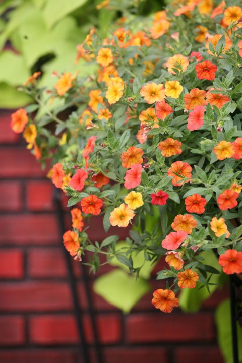 Calibrachoa-Million-Bells-Mounding-Crackling-Fire-301