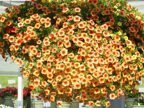 Calibrachoa-Million-Bells-Mounding-Terra-Cotta-301
