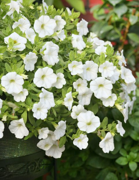 Calibrachoa-Million-Bells-Mounding-White-301