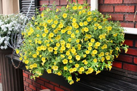 Calibrachoa-Million-Bells-Neon-Yellow-301