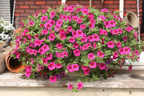 Calibrachoa-Million-Bells-Trailing-Magenta-301