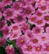 Calibrachoa-Million-Bells-Trailing-Pink-001