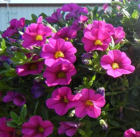 Calibrachoa-Million-Bells-Trailing-Pink-002