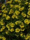 Calibrachoa-Million-Bells-Trailing-Yellow-001