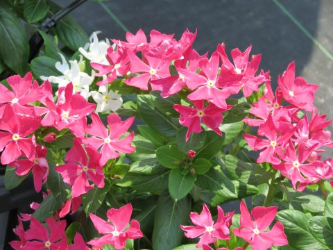 Catharanthus-Soiree-Crown-Rose-001
