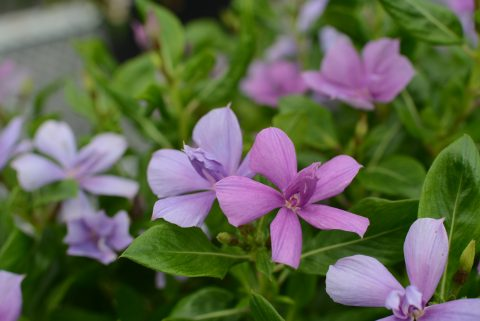 Catharanthus-Soiree-Double-Orchid-001