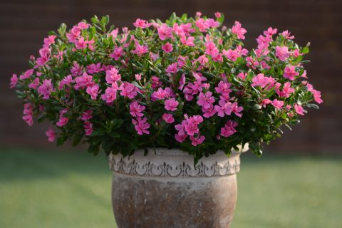 Catharanthus-Soiree-Double-Pink-301