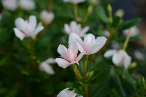 Catharanthus-Soiree-Double-White-001