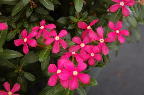 Catharanthus-Soiree-Kawaii-Coral-001