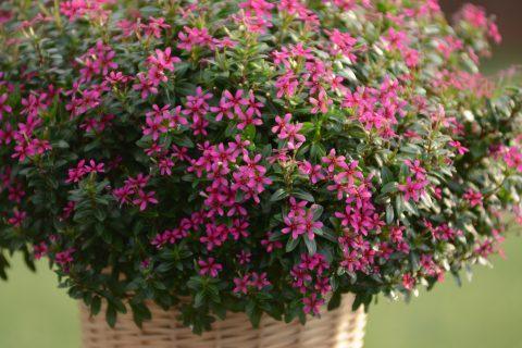 Catharanthus-Soiree-Kawaii-Lavender-301