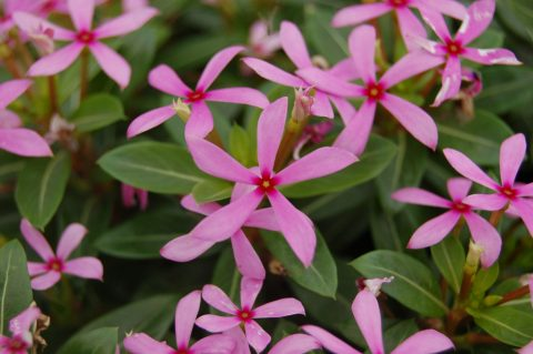 Catharanthus-Soiree-Kawaii-Light-Purple-001