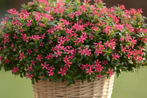 Catharanthus-Soiree-Kawaii-Pink-301
