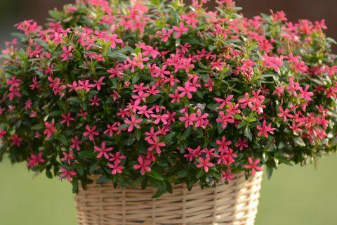 Catharanthus-Soiree-Kawaii-Pink-301