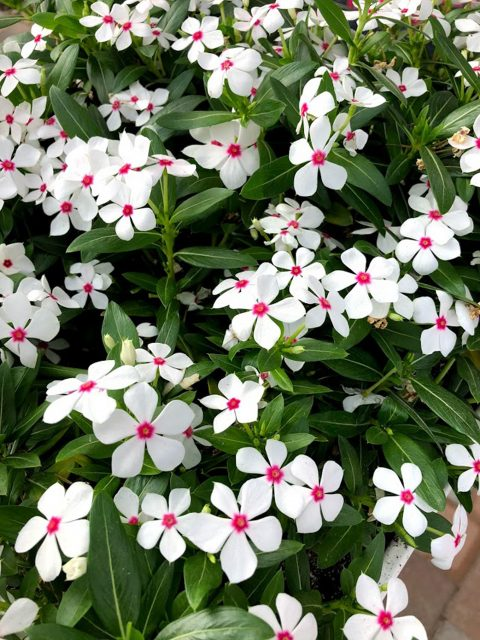 Catharanthus-Soiree-Kawaii-White-Peppermint-001