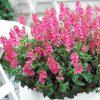 Diascia-Sundiascia-Upright-Bright-Pink-302