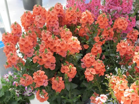 Diascia-Sundiascia-Upright-Peach-301