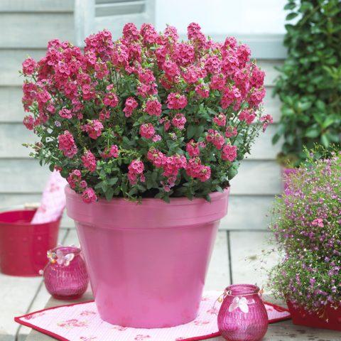 Diascia-Sundiascia-Upright-Rose-Pink-302