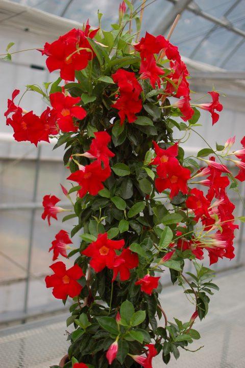 Dipladenia-Sundenia-Crimson-301
