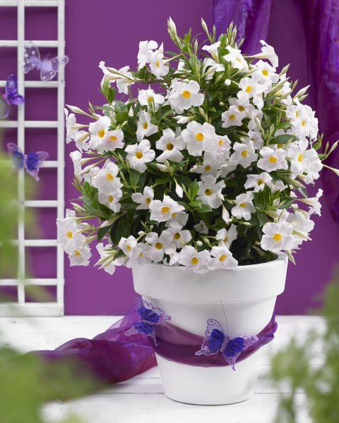 Dipladenia-Sundenia-White-301