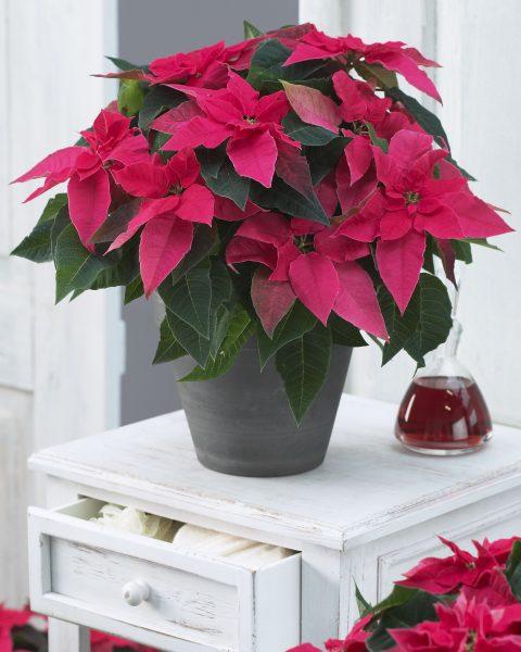 Euphorbia-Princettia-Dark-Pink-301