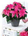 Euphorbia-Princettia-Hot-Pink-301