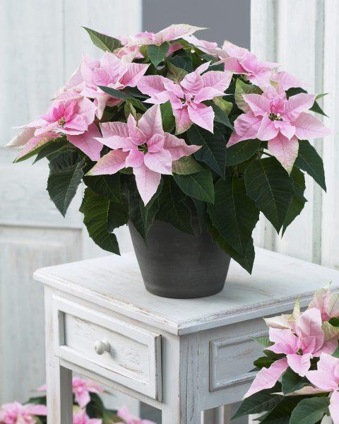 Euphorbia-Princettia-Pink-302
