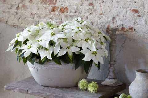 Poinsettia Pure White
