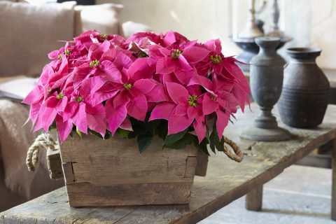 Poinsettia Queen Pink